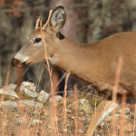 Yearling-Buck Dispersal: How Far, How Fast, How Many?
