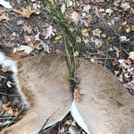 Greenbrier Vines Ensnare and Kill a Young Doe