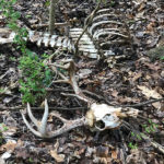 The Mystery of the Tangled-Up Buck