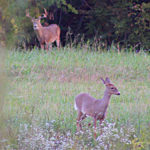 Will the Rut Be Early This Year?