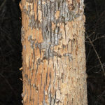 Watch Your Ash! These Trees Can Be Dangerous
