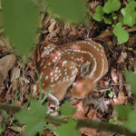 Born With One Hoof in the Grave? Fawns Die Even Without Predators
