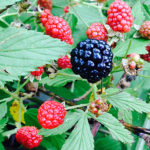 4 Lessons for Deer Hunters from Summer Blackberry Picking