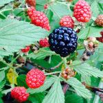 4 Lessons for Deer Hunters from Summer Blackberry Picking