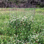 Balansa Clover for Deer