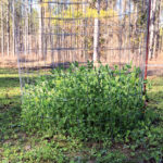 Recover From Food Plot Failure by Planting a Salvage Plot