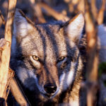 How Much Venison Are Coyotes Eating?