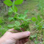 Annuals, Perennials or Both for Food Plots? How to Choose Wisely