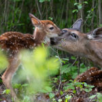 "Fawns are the Fix for Most Deer-Hunting ""Mistakes"""