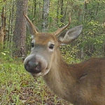 A New Clue in the Unsolved Mystery of Bullwinkle Deer