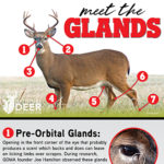 Meet the 7 Glands of the Whitetail — and a Bonus Organ!