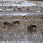 Action Alert: Kansas Deer Hunting Bills
