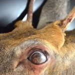 Freak Buck Had Corneal Dermoids. Yes, Hairy Eyeballs.