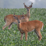 Which food plot crops do deer prefer, and why?