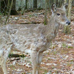 Why Does That Deer Look So Raggedy?