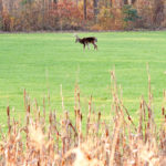 Food Plot Screening Cover for Better Deer Hunting