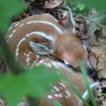 The Science of Fawn Survival: Leave It Where You Found It