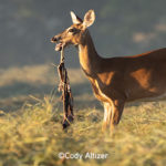 Deer Instincts Can Trigger Weird Behaviors, Like This Doe Eating a Dead Fawn