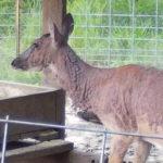 Deer Mange Looks Bad. Is It A Concern for Deer Populations?