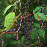 Hunt & Gather: Mild Venison Chili and Wild Grape Jelly